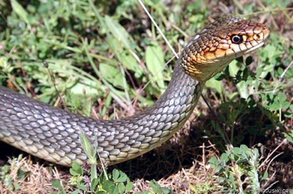 Крым атакуют змеи или у страха глаза велики?