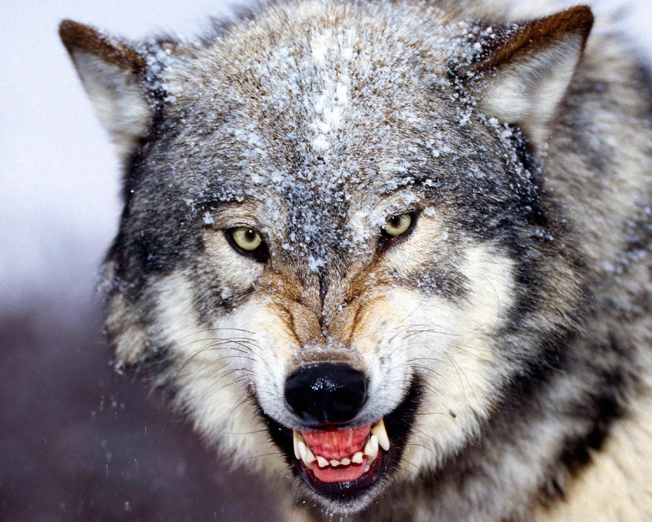 Волчий капкан