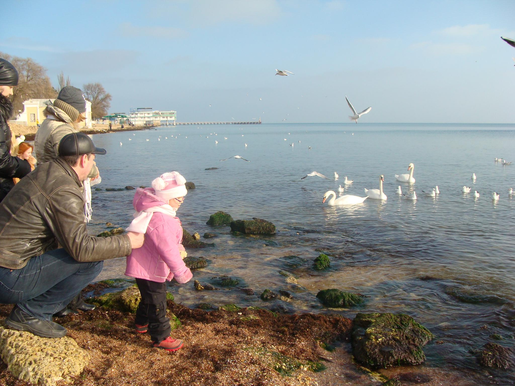 В Евпатории зимуют лебеди (видео)