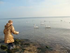 В Евпатории зимуют лебеди