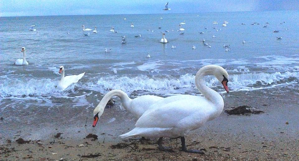 Сага о крымских лебедях:одних — спасают, в других – стреляют! (видео)