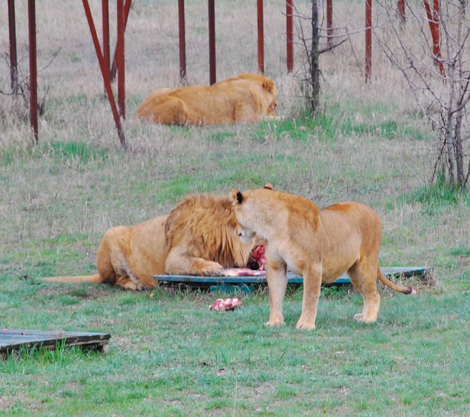 Меценаты из  Африки взяли шефство над крымскими львами!