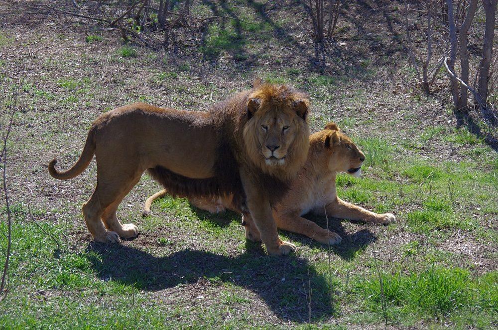 Тайганские  львы встретили Пасху на воле (фото, видео)