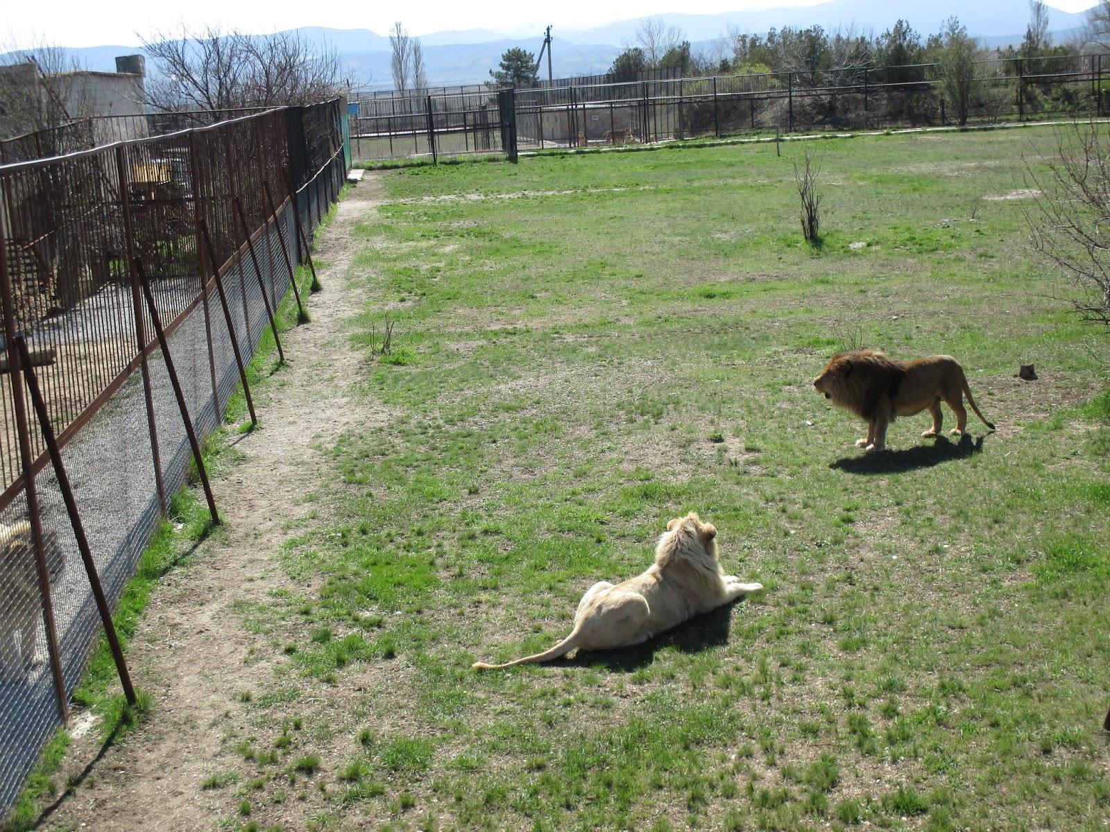 В парке «Тайган»  верховодит лев Рыжик