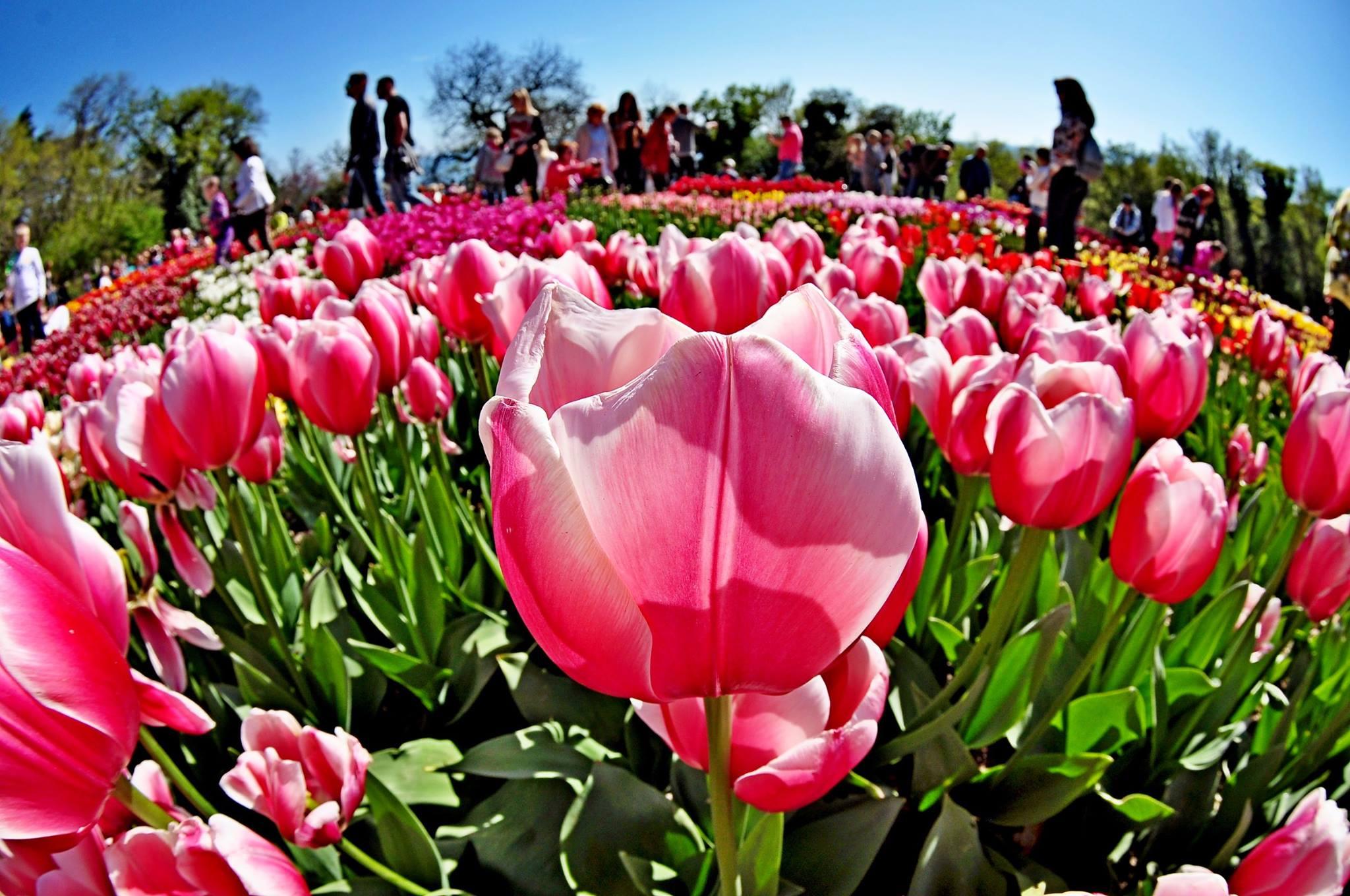Тюльпаномания в Никитском саду