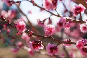 абрикос Муме в Никитском Ботаническом саду