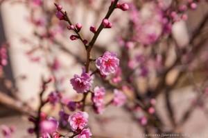 абрикос Муме в Никитском Ботаническом саду2