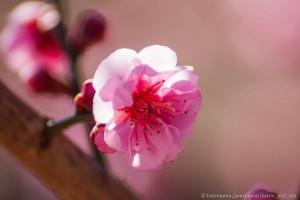 абрикос Муме в Никитском Ботаническом саду3