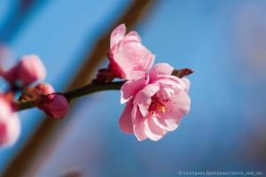 абрикос Муме в Никитском Ботаническом саду5