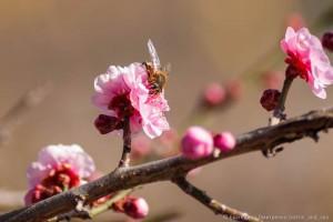 абрикос Муме в Никитском Ботаническом саду7