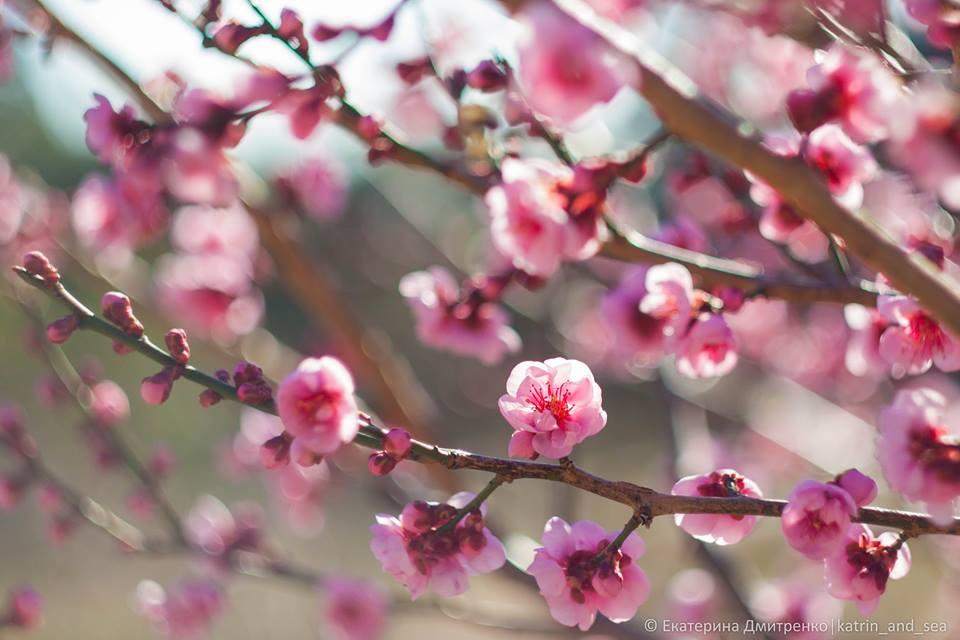 В Ялте расцвели абрикосы Муме (фото)