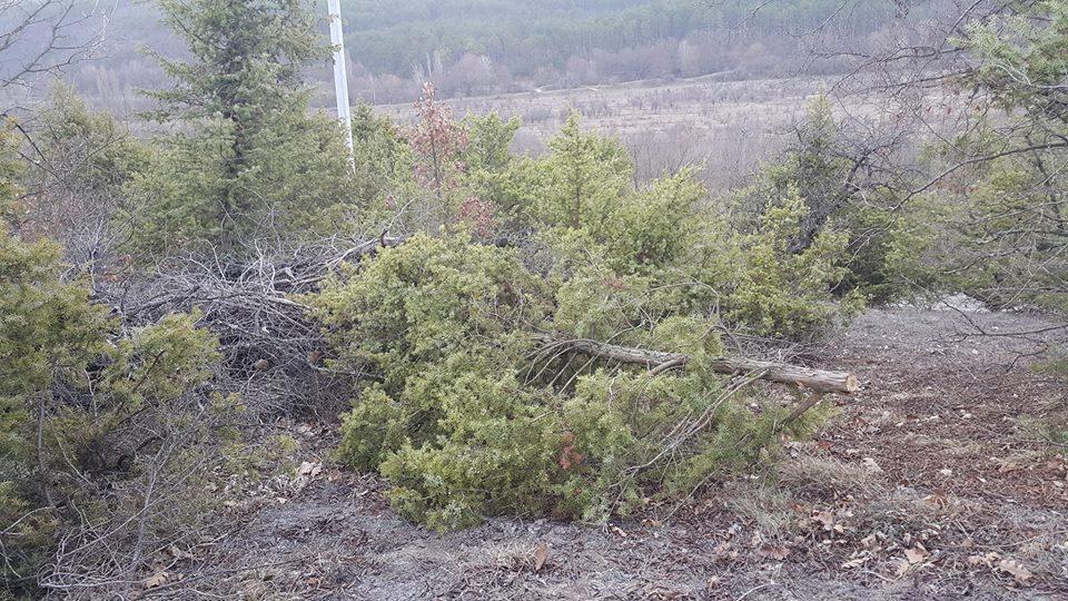 В Крыму продолжается варварская вырубка можжевельника