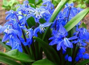 синие пролески