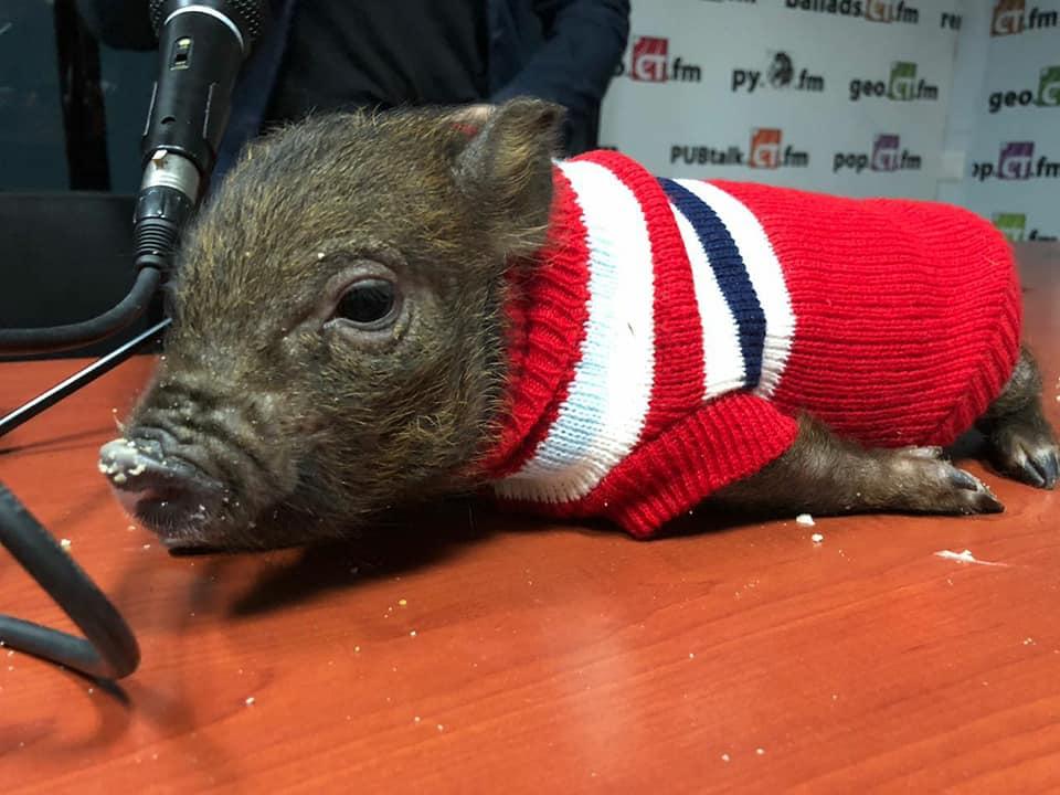 Крымская свинка  стала героиней Русского радио