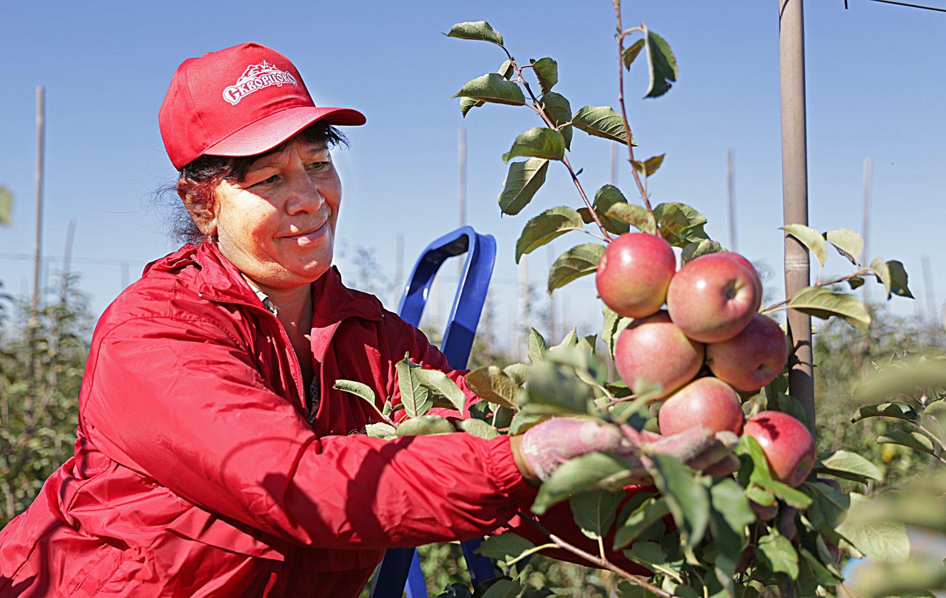 Почему крымские яблоки вкуснее зарубежных?