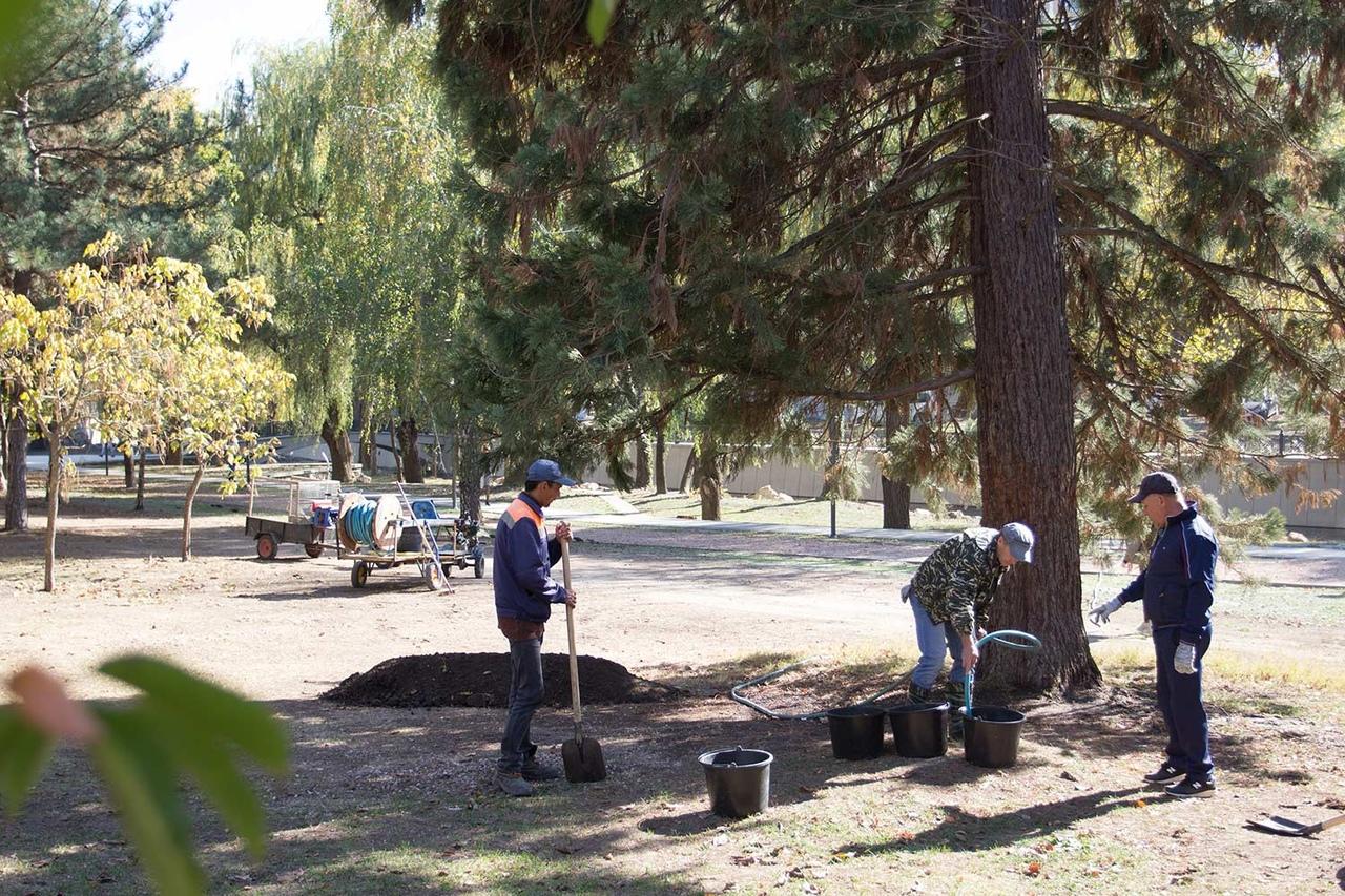 В Гагаринском парке Симферополя лечат уникальное дерево