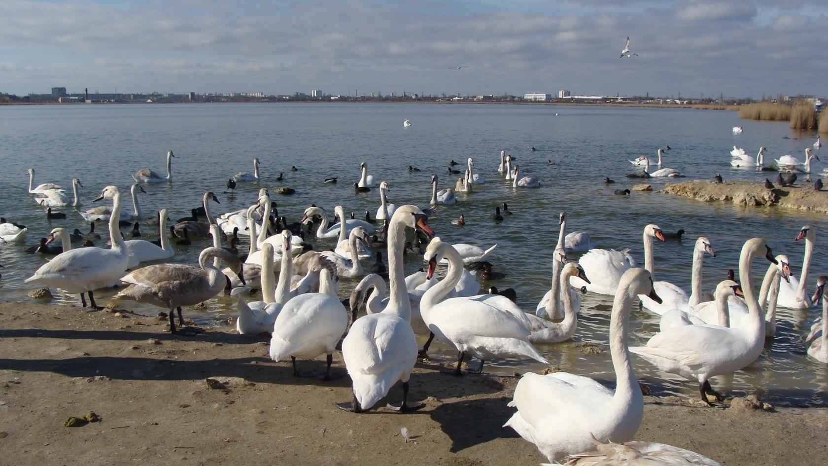В Евпатории может появиться место для прогулок и кормления лебедей